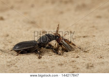 Closeup black beetle (Scarites bucida) caught the grasshopper on sand in desert. Jungle law