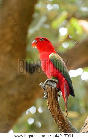 Chattering Lory (Lorius garrulus) standing on a branch in Thailand Zoo