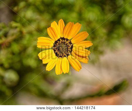 Ursinia speciosa flower growing near the coast in South Africa