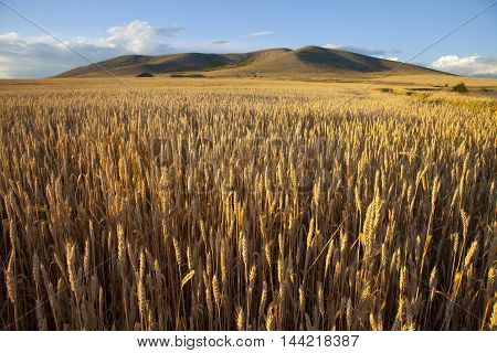 landscape endlessly fertile wheat field at sunset