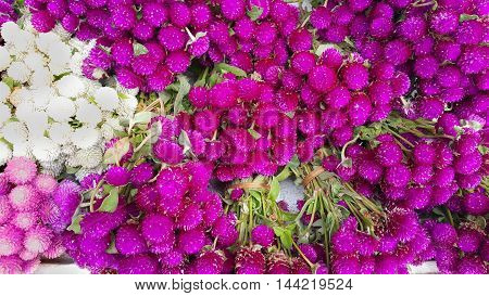 Globe amaranth beauty flower nature background colorful
