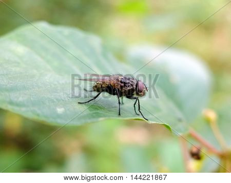 Fly sits on a green leaf. Insects in forests and parks. Fly -  threat to human health and Pets. Insect carrier of infection and disease.