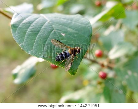 Wasp sitting on a leaf. The striped insect macro. Nature is beautiful in the summer. Winged insect gathers nectar from plants.