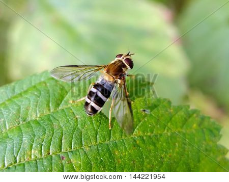 Wasp sitting on green leaf. The striped insect macro. Nature is beautiful in the summer. Winged insect gathers nectar from plants.