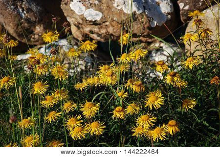 Sunlit beautiful yellow wildflowers in front of an old stone wall