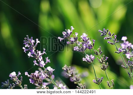 Lavender flowers closeup by a soft green background