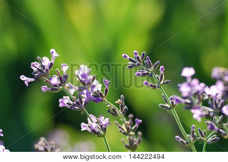 Closeup of lavender flowers by a soft green background