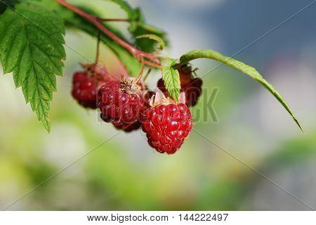 Bright sunlit ripe growing raspberries in summertime.