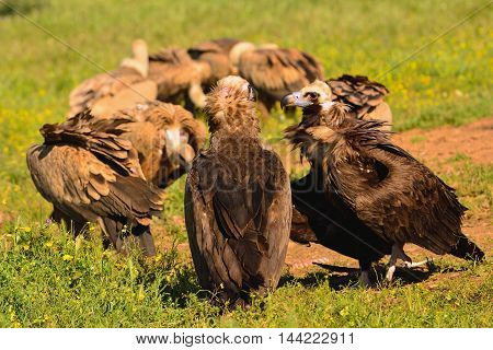 Cinereous Vulture With Griffon Vultures