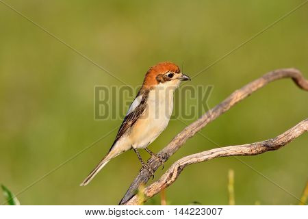 Woodchat Shrike Perched On A Branch.