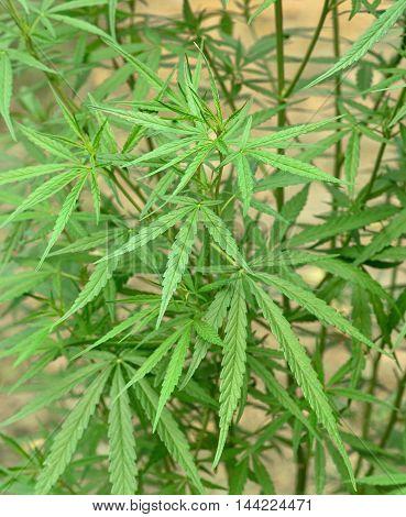 Cannabis plant hemp  leaf  green marijuana nature