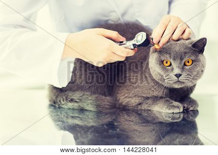 medicine, pet, animals, health care and people concept - close up of veterinarian doctor with otoscope checking up british cat ear at vet clinic