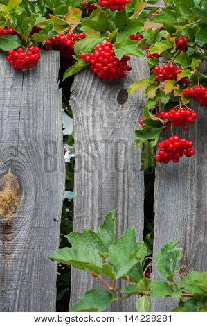 Bunch Of Guelder-rose(viburnum) Berries On Wood En Fence