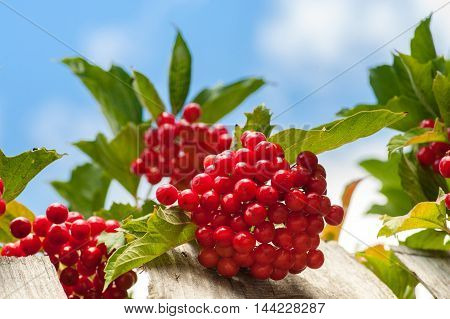 Bunch Of Guelder-rose Berries On Wooden Fence With Sky