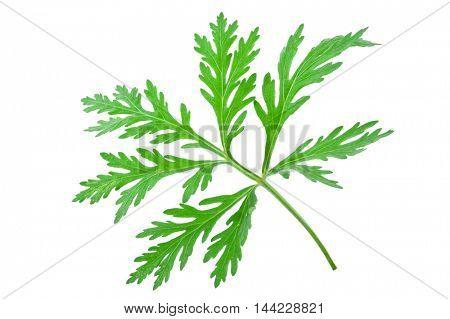 Wormwood (absinthium)leaf