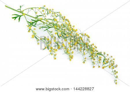 Absinthium (Artemisia absinthium)