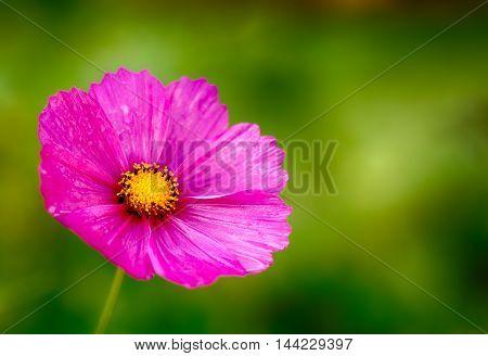 Kosmeya. green background from a flower. Garden
