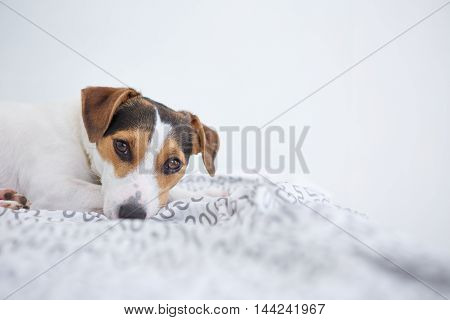Portrait of adorable brown and white pet dog relaxing on bed against of white wall