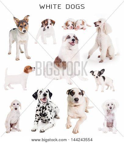 Set of white dogs isolated on white background