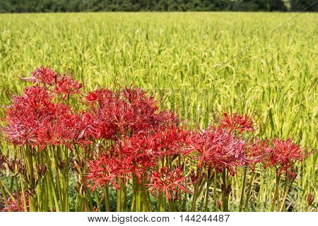 Red spider lily flowers cluster in front of rice field