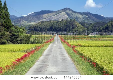 Red spider lily flowers beside farm road in front of mountain