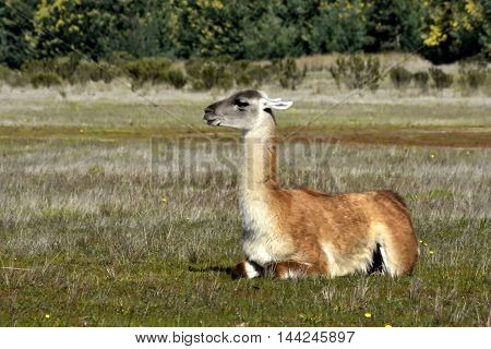An alpaca (llama) in a natural environment