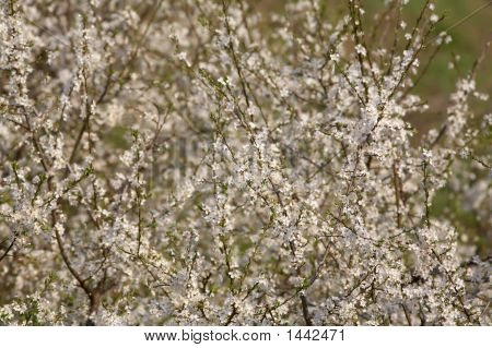 Wachs Kirschbaum In voller Blüte