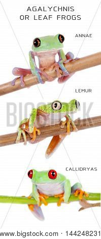 Leaf frogs set isolated on white background