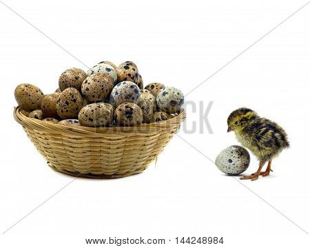 Baby quail and wooden basket with eggs isolated on white background