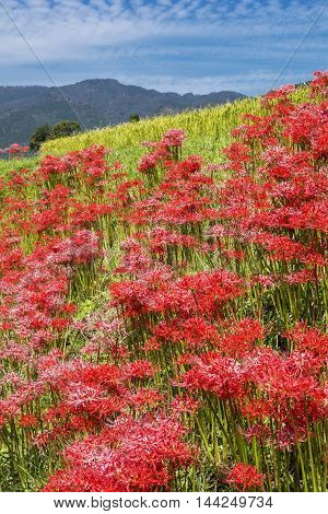 Red spider lily flowers colony under blue sky in vertical composition
