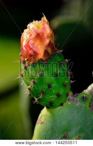 Close up of a Opuntia with dark background