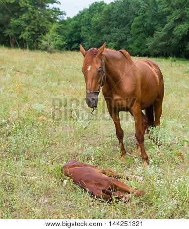 Mother horse and baby foal resting in the herbs.