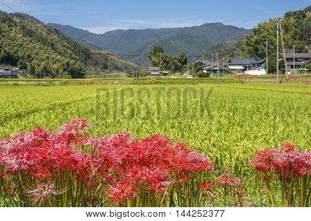 Lined red spider lily flowers in front of autumn rural scenery