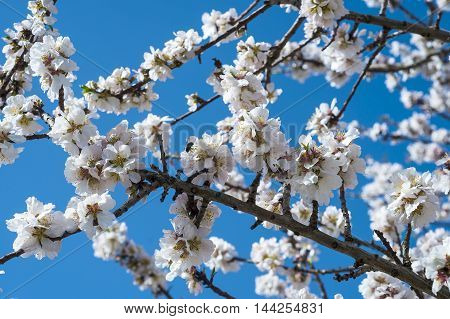 Beautiful pear Tree in Blossom on Blue Sky Background