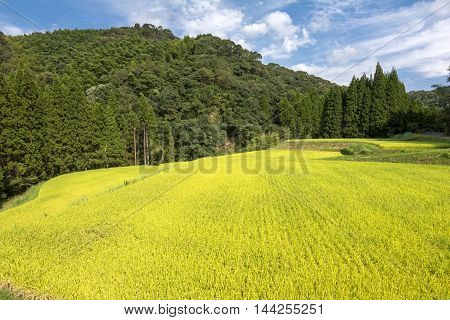 Yellow rice field in front of green forest