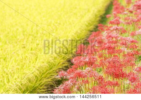 Red spider lily flowers beside rice field