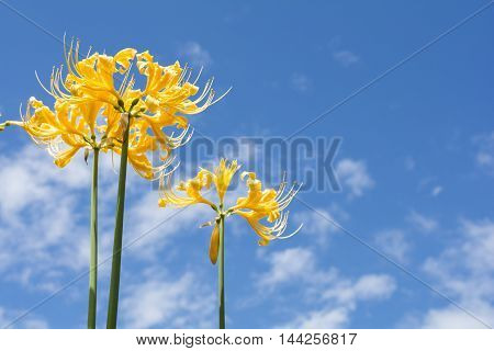 Bright golden spider lily flowers under blue sky