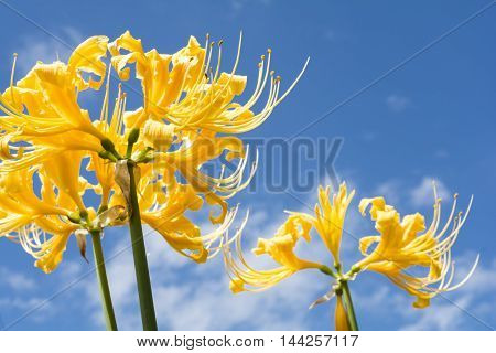 Close up bright golden spider lily flowers under blue sky