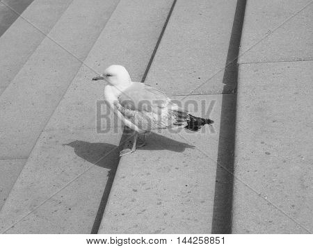 Gull seabird aka Seagull or Mew bird animal in black and white