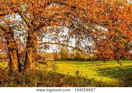 Landscape. Autumn Oak fog. trees covered with yellow leaves falling leaves oak. Misty morning in autumn forest