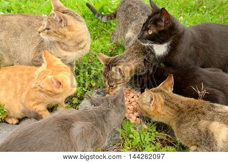 The photo of hungry homeless cats eat food.