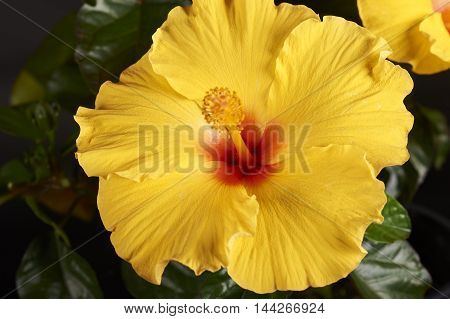 Hibiscus (ATHENACUS) Plant on residential deck for decoration
