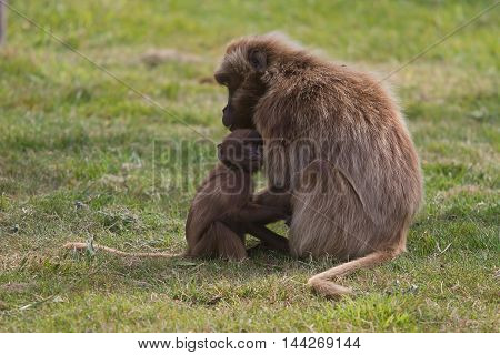 photo of mother and baby Gelada Baboon
