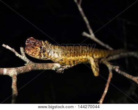 Diving Lizard sitting on a tropical branch at night, Uranoscodon superciliosus