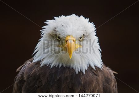 photo portrait of an alert American Bald Eagle