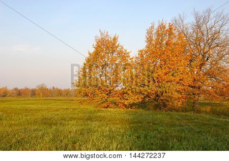 Fall Lawn Oak Stands With Gold Leaves