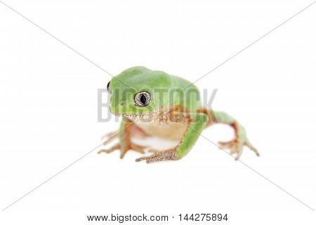 Leaf frog Phyllomedusa ayeaye isolated on white background