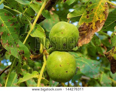 Immature walnuts on walnut tree in garden