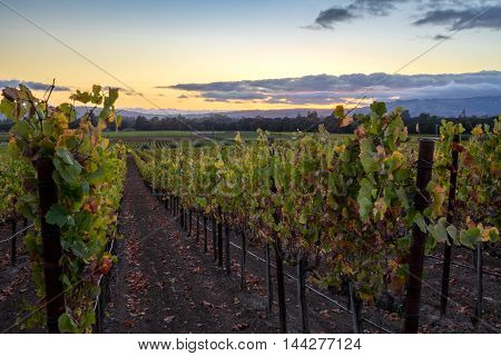 Sonoma vineyard row with colorful sunset in autumn during harvest. Vibrant, colorful grape vines in fall in Sonoma Valley, California wine country. Blue, yellow sky with cloud cover at dusk.