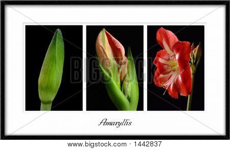 Amaryllis Triptych